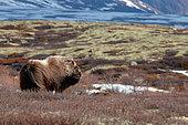 Muskox (Ovibos moschatus) in the tundra, Dovrefjell, Norway