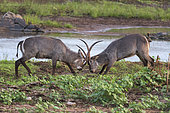 Waterbuck (Kobus ellipsiprymnus) Two bulls are fighting, Kruger national park, South Africa,