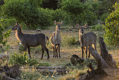 Waterbuck (Kobus ellipsiprymnus) Females in the sunsuet light, Mapungubwe national Park, South Africa