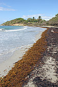 Stranding of Sargasso on the beach of Saint Felix, commune of Gosier, Guadeloupe, French West Indies, May 2018