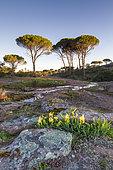 Crimean Iris (Iris lutescens), temporary pond and Italian stone pines (Pinus pinea), National Nature Reserve of Plaine des Maures, Vidauban, Var, France