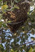 Honey bee swarm (Apis mellifera), National Nature Reserve of Plaine des Maures, Vidauban, Var, France