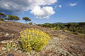 Helichrysum (Helichrysum stoechas) and Italian stone pines (Pinus pinea), National Nature Reserve of Plaine des Maures, Vidauban, Var, France