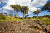 Italian stone pines (Pinus pinea), National Nature Reserve of Plaine des Maures, Vidauban, Var, France