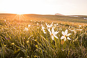 Sunset and Poet's Narcissus (Narcissus poeticus) on the plateau of Font d'Urle, Vercors Regional Natural Park, France