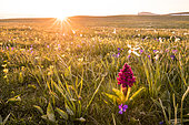 Sunset and Elder-flowered Orchid (Dactylorhiza sambucina) on the plateau of Font d'Urle, Vercors Regional Natural Park, France