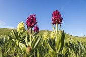 Elder-flowered Orchid (Dactylorhiza sambucina) on the plateau of Font d'Urle, Vercors Regional Natural Park, France