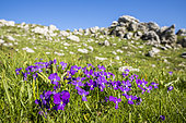 Long-spurred Pansy (Viola calcarata) on the plateau of Font d'Urle, Vercors Regional Natural Park, France