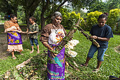 Kanak women preparing yams for cooking. Feast of the new yam. Tribe of Gohapin. New Caledonia.