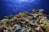 Diver and coral reef, Mayotte