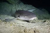 Nurse shark (Ginglymostoma cirratum) at the entrance of the cave, Mayotte