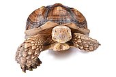 The African spurred tortoise (Centrochelys sulcata), is a species of tortoise, which inhabits the southern edge of the Sahara desert, in Africa. It is the third-largest species of tortoise in the world and the largest species of mainland tortoise.