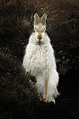 Mountain Hare (Lepus timidus) sat bolt upright in the Peak District, UK.