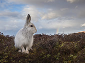 A Mountain Hare (Lepus timidus) looks on in the Cairngorms National Park, UK.
