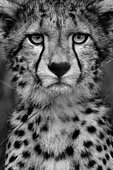 A young male Cheetah (Acinonyx jubatus) stares on in the Maasai Mara, Kenya. Having spent several days with this particular cub and his mother, I was eventually fortunate enough to be granted an overcast day. After over an hour playing with his mother, he eventually settled at the right distance from the vehicle, briefly glancing my way before moving on.