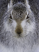 A portrait of a Mountain Hare (Lepus timidus) in the Cairngorms National Park, UK.