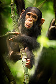 A young Chimpanzee (Pan troglodytes) plays in the treetops in the remote rainforests of Africa.