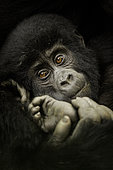 A young Mountain Gorilla (Gorilla beringei beringei) rests in his mothers embrace in the remote rainforests of Africa.