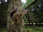 A curious Red Squirrel (Sciurus vulgaris) perches to observe the photographer, Yorkshire Dales, UK.