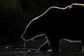 A Brown Bear (Ursus arctos horribilis) fishes in the late evmed like the sun would never appear. Katmai, Alaska