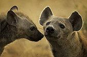 A pregnant Hyena (Crocuta crocuta) with a young cub in Queen Elizabeth National Park, Uganda