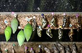 Butterfly pupae in hatching box, from left to right Common Morpho (Morpho peleides), Tarricina Longwing (Tithorea tarricina) and Gulf fritillary (Agraulis vanillae), Hostería Mariposas de Mindo, Andean cloud forest, Mindo, Ecuador, South America