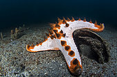 Chocolate Chip Sea Star (Protoreaster nodosus) on the bottom, Lembeh Strait, Indonesia