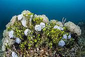 Colonies of Pulsing coral (Xenia sp) and Green Algae (Halimeda sp.), Lembeh Strait, Indonesia