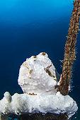 Painted frogfish (Antennarius pictus), Lembeh Strait, Indonesia