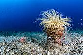 Magnificent shrimp (Periclimenes magnificus on Tube Anemone (Cerianthus sp), Lembeh Strait, Indonesia