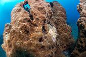 Scorpionfish (Scorpaenopsis sp) on a sponge, Lembeh Strait, Indonesia