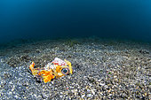 Birdbeak burrfish (Cyclichthys orbicularis) hiding in the sand, Lembeh Strait, Indonesia