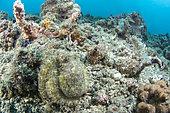 Algae octopus (Abdopus aculeatus) on a background of coral debris, Lembeh Strait, Indonesia