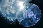 Moon Jellyfish (Aurelia aurita), Lembeh strait, Indonesia