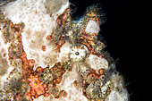 Portrait of a giant frogfish (Antennarius commerson), Lembeh Strait, Indonesia