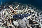 De Beaufort's crocodile flathead (Cymbacephalus beauforti) in coral debris, Lembeh Strait, Indonesia