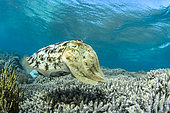 Broadclub Cuttlefish (Sepia latimanus), Bangka Island, Indonesia