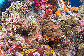 Scorpionfish (Scorpaenopsis sp) on the reef, Bangka Island, Indonesia