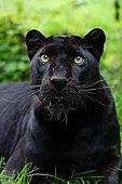 Portrait of a Black panther (Panthera pardus)