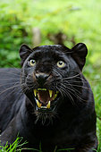 Black panther (Panthera pardus) snarling