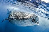 Whale shark (Rhincodon typus) feeding on underwater plankton, Isla Contoy, Mexico
