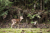 Young Timor Deer (Cervus timorensis) in a rain forest, Blue River Provincial Park, Natural Environment of the Kagu, South Province, New Caledonia.
