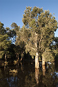 Niaouli (Melaleuca quinquenervia) in swampy area, Poya Commune, North Province, New Caledonia.