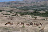 Rusa deers (Cervus timorensis) in a pasture at dusk, West Coast, Poya Commune, North Province, New Caledonia.