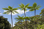 Tree ferns (Cyathea intermedia) in open forest wetland, North Province, New Caledonia.