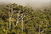Moore's Kauri (Agathis moorei), Mount Aoupinia, New Caledonia.