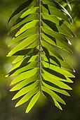 Koghis kauri (Agathis lanceolata), Moist forest, Gohapin Tribe, Northern Province, New Caledonia.