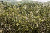 Flowering of a Punktree (Melaleuca quinquenervia) savanna, Plaine de Poya, North Province, New Caledonia.