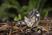 Chat ensauvagé en forêt, réserve de la forêt cachée. Forêt humide sur sol ultramafique. Province sud. Nouvelle-Calédonie.