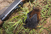 Insular flying fox (Pteropus tonganus) killed next to a shotgun. Endemic species. New Caledonia.